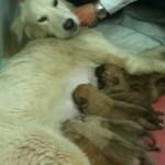 neve ed i suoi 8 cuccioli