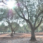 Ulivi Puglia