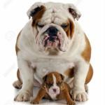 bulldog mamma