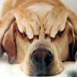 cane castrazione cof 1