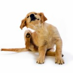 "16 week old Golden Retriever puppy scratching fleas with leg in motion on a white background ""Missy"""
