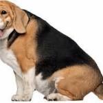 cane obeso 1