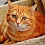 fibrosarcoma gatto 0