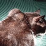 fibrosarcoma gatto 1