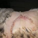fibrosarcoma gatto 3