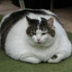 gatto_obeso