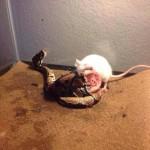 serpente topo cofanetto