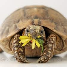 Tartaruga terrestre.