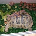 tartaruga_terrestre-e-piccoli