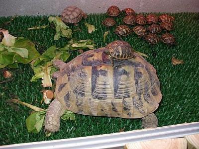 tartaruga e piccoli